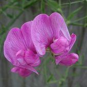 picture of sweet pea  - Pink everlasting sweet pea  - JPG