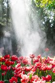 picture of rain  - Red Tulips Under Spring Rain Red tulips under a sprinkler that made a rainbow and gave a rain effect - JPG