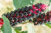 picture of pokeweed  - A Black and red Phytolacca Acinosa fruit - JPG