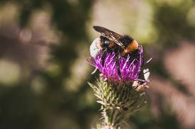 image of scottish thistle  - bumblebee seating on the purple thistle flower - JPG