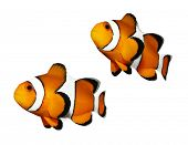 image of clown fish  - Tropical reef fish  - JPG