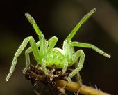 image of huntsman spider  - The green huntsman spider  - JPG