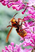 picture of hornet  - Close - JPG