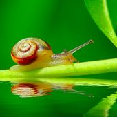stock photo of hermaphrodite  - Young snail Trichia hispida on fresh green leaf over garden pool - JPG