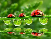 stock photo of pasture  - Three ladybugs running on a grass bridge over a spring flood - JPG