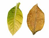 foto of tobacco leaf  - green tobacco leaves isolated on white background - JPG