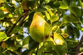 Ripe Pear Hangs On A Tree Branch, Autumn Ripe Fruit On A Tree..pear Trees Laden With Fruit In An Orc poster