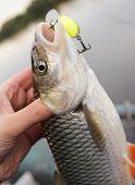 foto of chub  - Chub caught on a green hardbait in fisherman - JPG
