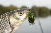 stock photo of chub  - Chub caught on a green hardbait against river landscape - JPG