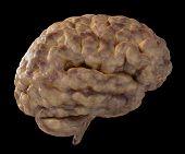 stock photo of temporal lobe  - 3D Illustration of a fresh moist brain - JPG