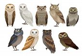 Flat Vector Set Of Different Species Of Owls. Wild Forest Birds. Flying Creatures. Elements For Orni poster
