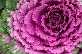 Flowering Decorative Purple-pink Cabbage Plant. Ornamental Kale. Natural Vivid Background poster