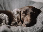 Sleepy pointer dog lying on couch. poster