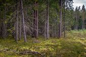 Mossy Coniferous Forest In Latvia. Fir And Pine Forest. Mixed Wood Of Pine And Spruce Trees. Conifer poster