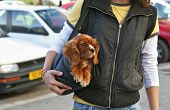 stock photo of youg  - coker spaniel puppy being carried in a bag on the street by a youg woman - JPG