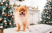 Small Cute Funny Pomeranian Dog Sitting At Sofa On Christmas Tree Background poster