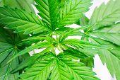 Marijuana Business. Hemp Flower Indoor Growing. Home Grow Legal Recreational Marijuana. Macro Shot.  poster