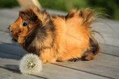 stock photo of curio  - guinea pig on the wood surface with dandelion - JPG