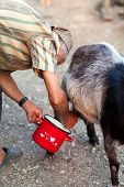 stock photo of milkmaid  - Senior woman milking goat with red pot at countryside - JPG