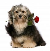 foto of dog-rose  - A lover tango havanese dog holding red rose in mouth isolated on white background - JPG
