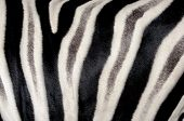 image of hoof prints  - background which the structure of hide of zebra is represented on - JPG