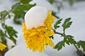 image of rare flowers  - This is newly fallen snow on a bright yellow mum  - JPG
