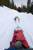 picture of sled dog  - Dog sledding from driver - JPG