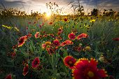 stock photo of sunflower  - Bright sunflowers and Indian blanket flowers illuminated by a breezy dawn - JPG