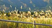 picture of pampas grass  - Field of pampas grass at base of hills - JPG