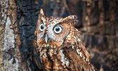pic of screech-owl  - An Eastern Screech Owl in a hallowed out tree - JPG