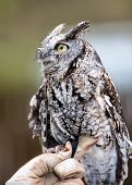 stock photo of screech-owl  - An Eastern Screech Owl in a hallowed out tree. Blending into the surroundings.