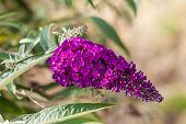 stock photo of butterfly-bush  - macro shot of the beautiful Buddleja flower with some green leaves - JPG