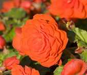 foto of begonias  - One big flower of begonia of red colour on natural background of green leaves and other plants - JPG