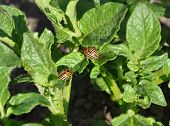 stock photo of potato bug  - Two Colorado beetles on the leaf of potato bush - JPG