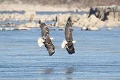 stock photo of fish-eagle  - Pair of majestic Bald Eagles (haliaeetus leucocephalus) in flight fighting for a fish