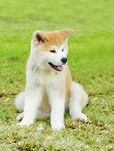 stock photo of akita-inu  - A young beautiful white and red Akita Inu puppy dog sitting on the lawn - JPG