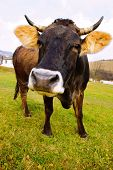 stock photo of perversion  - distorted brown cow on green grass and blue sky background - JPG