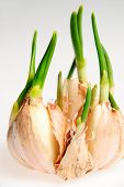 Germinate Garlic