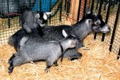 pic of pygmy goat  - These 2 kid pygmy goats are adorable with their mother who is laying down on straw - JPG
