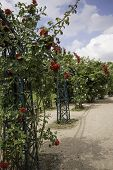 foto of climbing roses  - roses on a climbing frame in Bonn Germany daytime - JPG