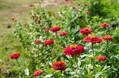 stock photo of zinnias  - Zinnia flower or Zinnia violacea in the garden nature and park - JPG