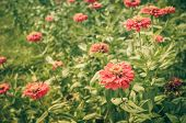 image of zinnias  - Zinnia flower or Zinnia violacea in the garden nature and park vintage - JPG