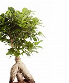 stock photo of ginseng  - Bonsai Ficus Ginseng isolated on white background - JPG