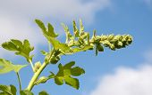 image of hollyhock  - Unopened hollyhock flower stem bends against the blue sky - JPG