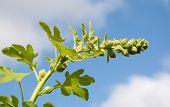 pic of hollyhock  - Unopened hollyhock flower stem bends against the blue sky - JPG