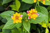 picture of lantana  - Flower of Lantana montevidensis verbena Common Lantana tropical in Thailand - JPG
