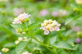 foto of lantana  - Lantana or Wild sage or Cloth of gold or Lantana camara flower in the garden - JPG