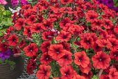 stock photo of planters  - Bright red Petunias in a hanging planter - JPG