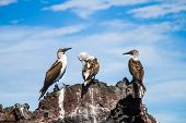 picture of blue footed booby  - Three blue - JPG