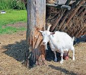 image of goat horns  - White horned goat with big udders on the farm - JPG